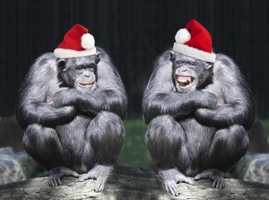 Two chimpanzees have a fun on christmas party in african rainforest.